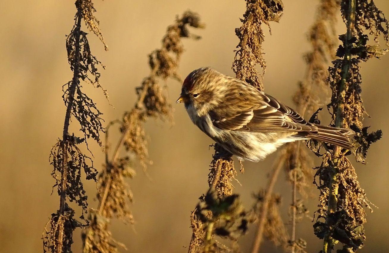 Чечётка дикий мир птицы чечётка