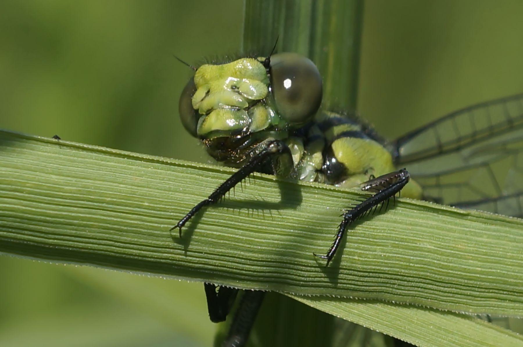 Стрекоза стрекоза лето трава лес природа