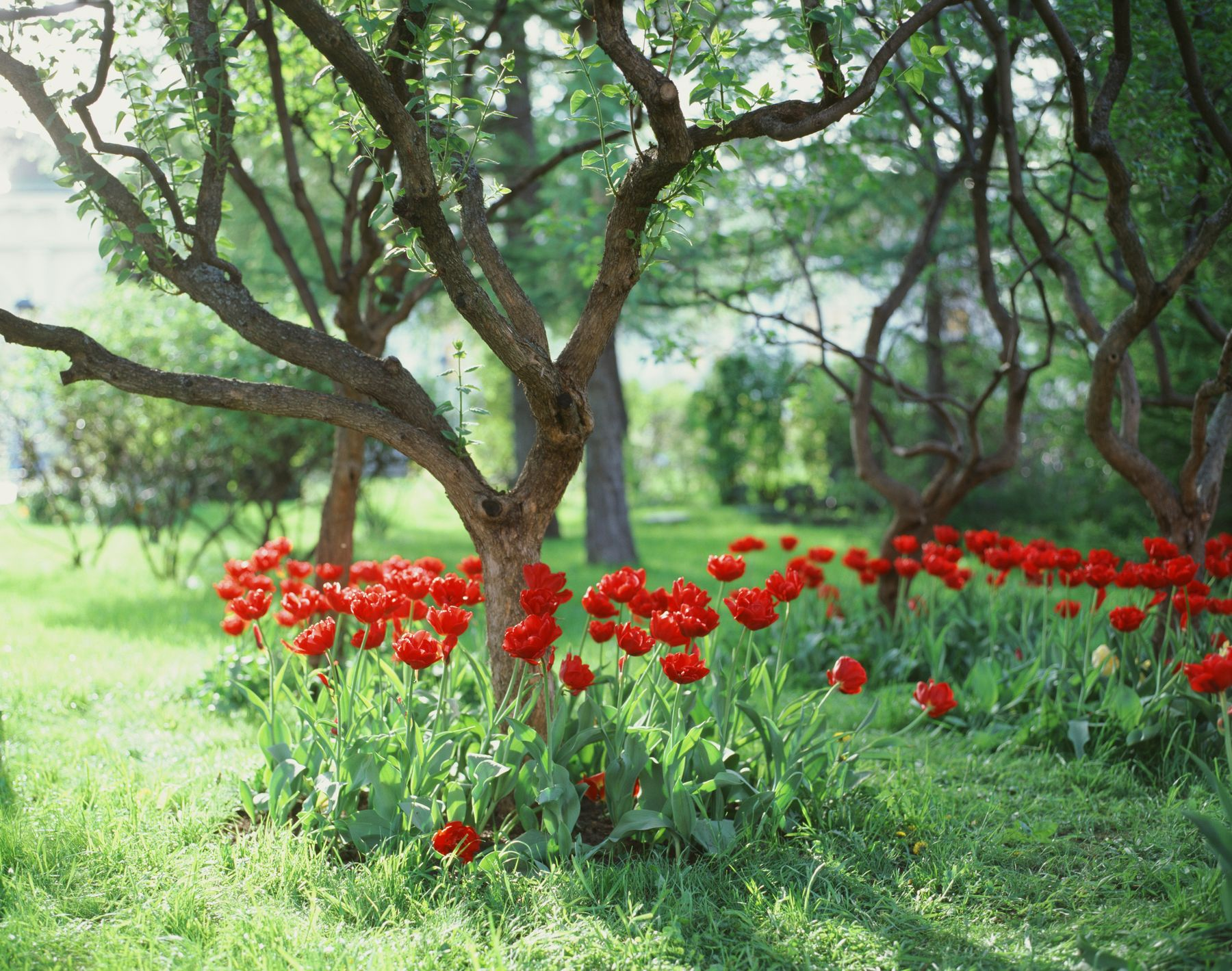 Красные тюльпаны Pentax 67ii Kodak e100 пленка 120 средний формат 6х7 67 слайд