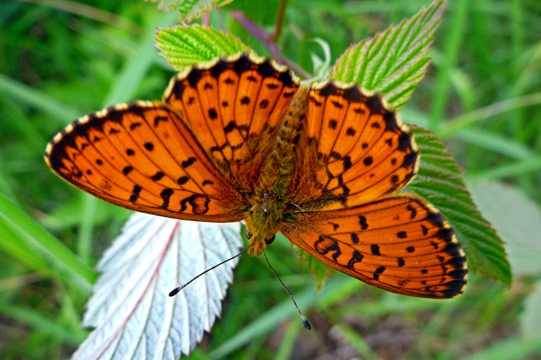 Бабочка бабочка макро