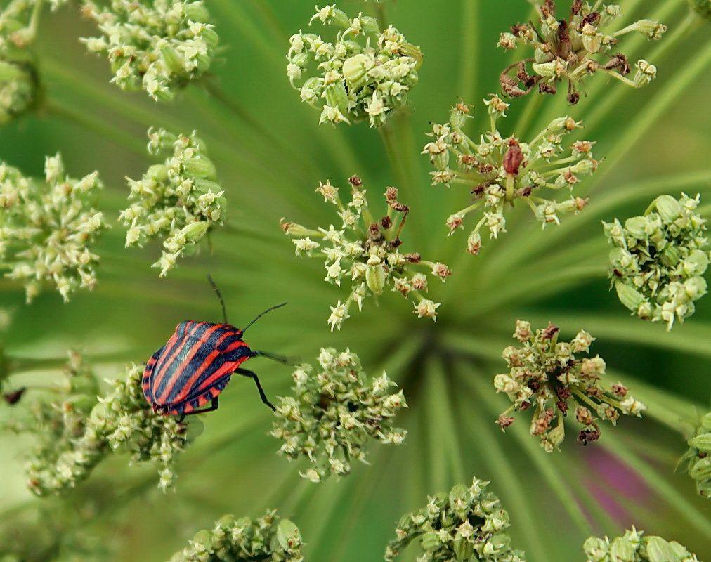 Нарядный жук