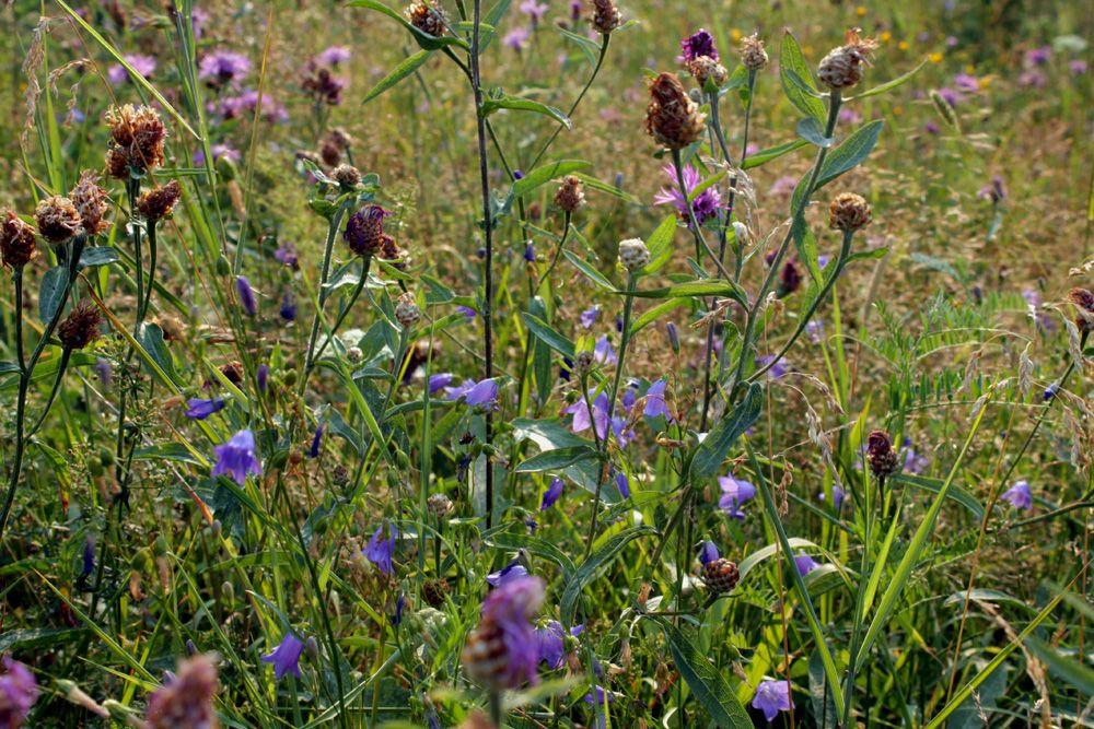 Русское поле цветы