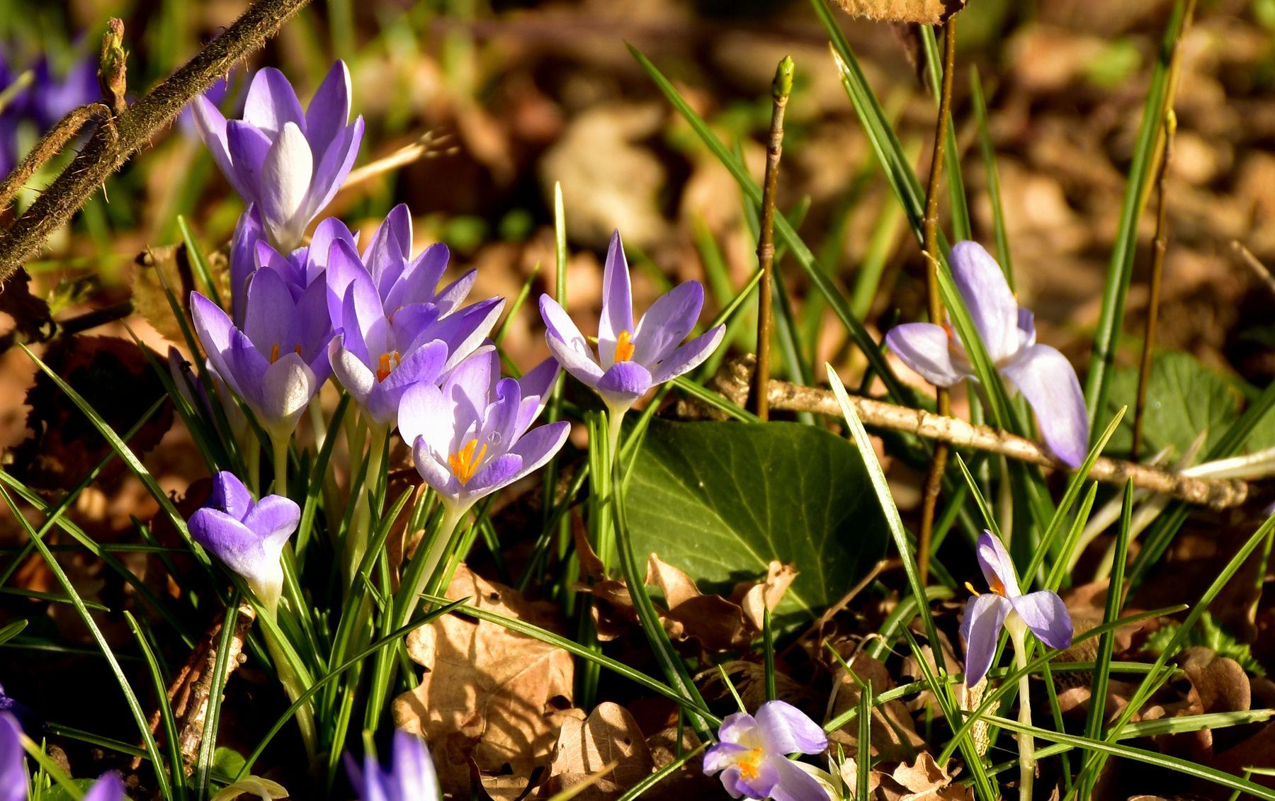 Первоцветы-крокусы весна крокусы цветы сиреневое