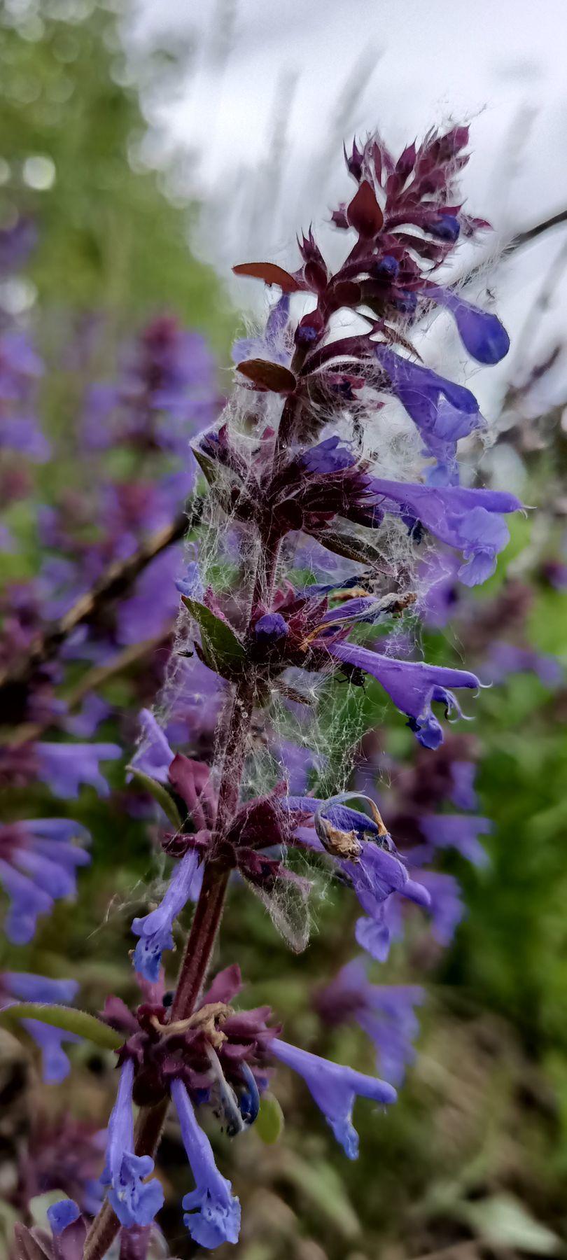 Опутанный Цветок цветочек синий цветок синенький в паутине запутанный опутан опутанный паутиной паутина паутинка попался сеть паучья