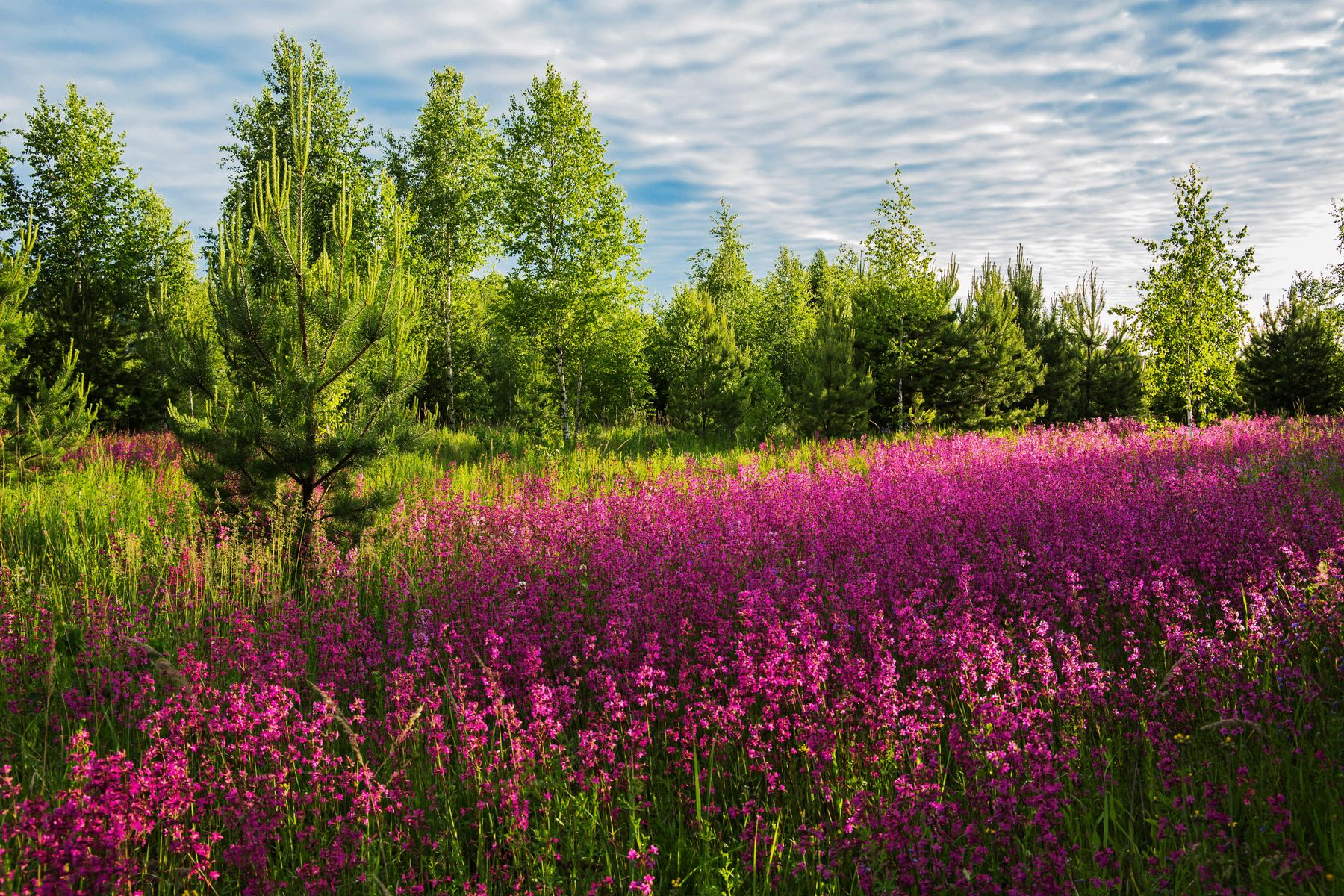 Гвоздичная поляна природа пейзаж лето.вечер гвоздика смолка цветы