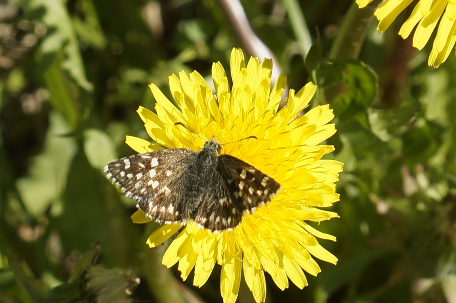 Мозаичная толстоголовка мозаичная толстоголовка бабочка лето лес одуванчик