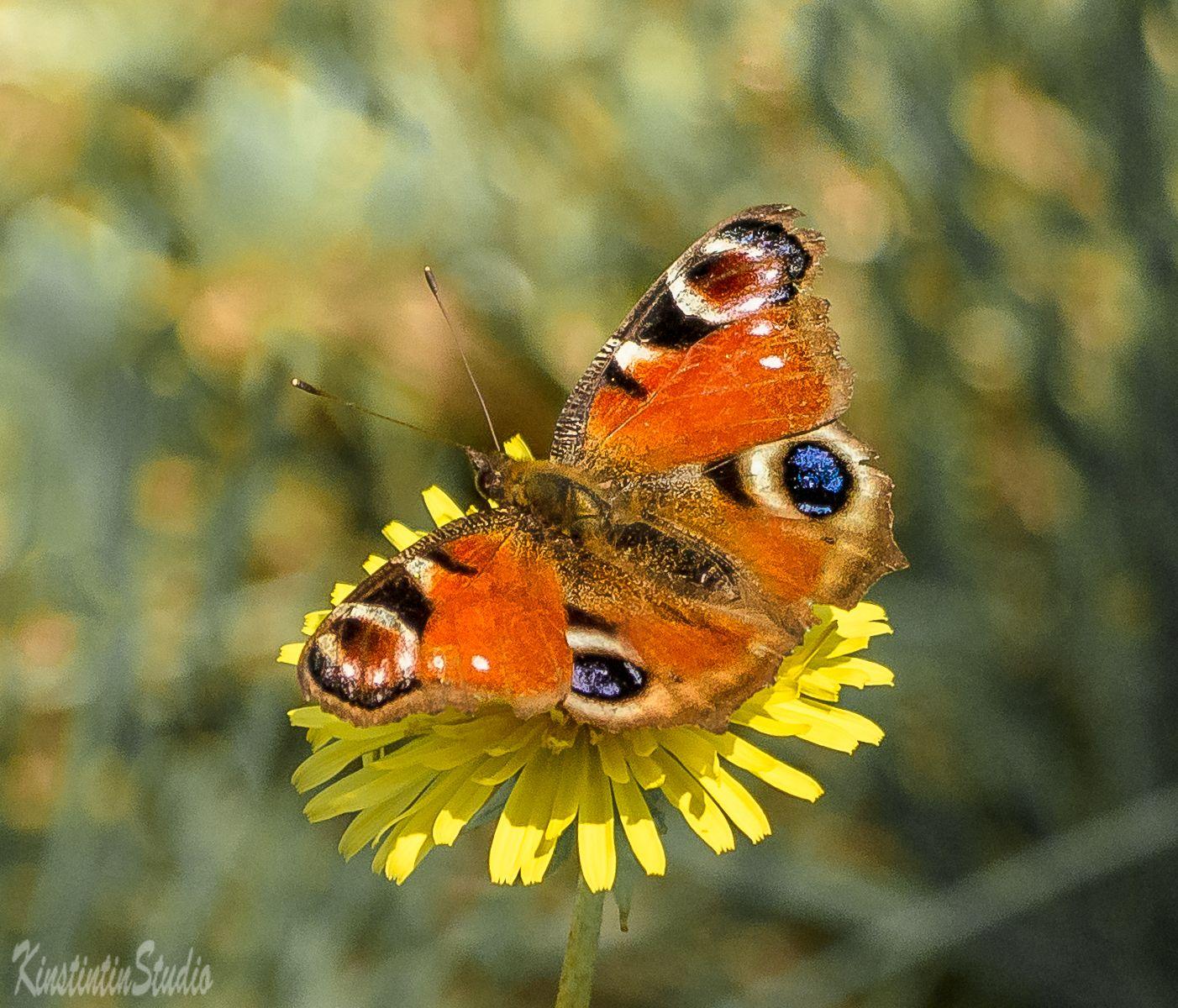 Бабочка и одуванчик... бабочка одуванчик май весна