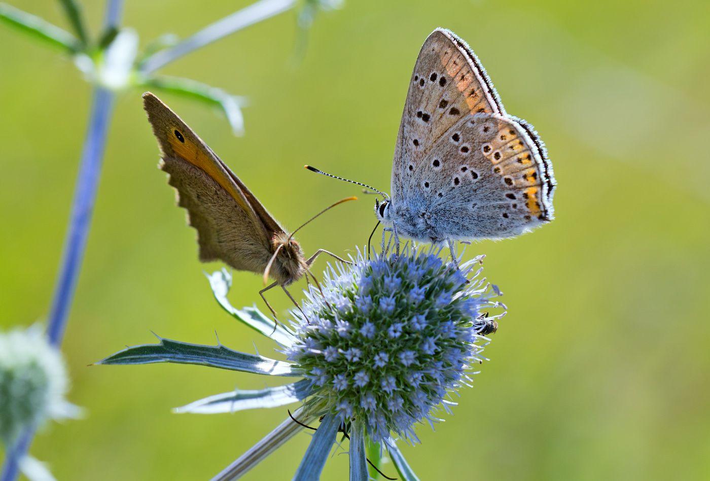 Летний сюжет (2) лето июль насекомые бабочка голубянка червонец нимфалида бархатница воловий глаз