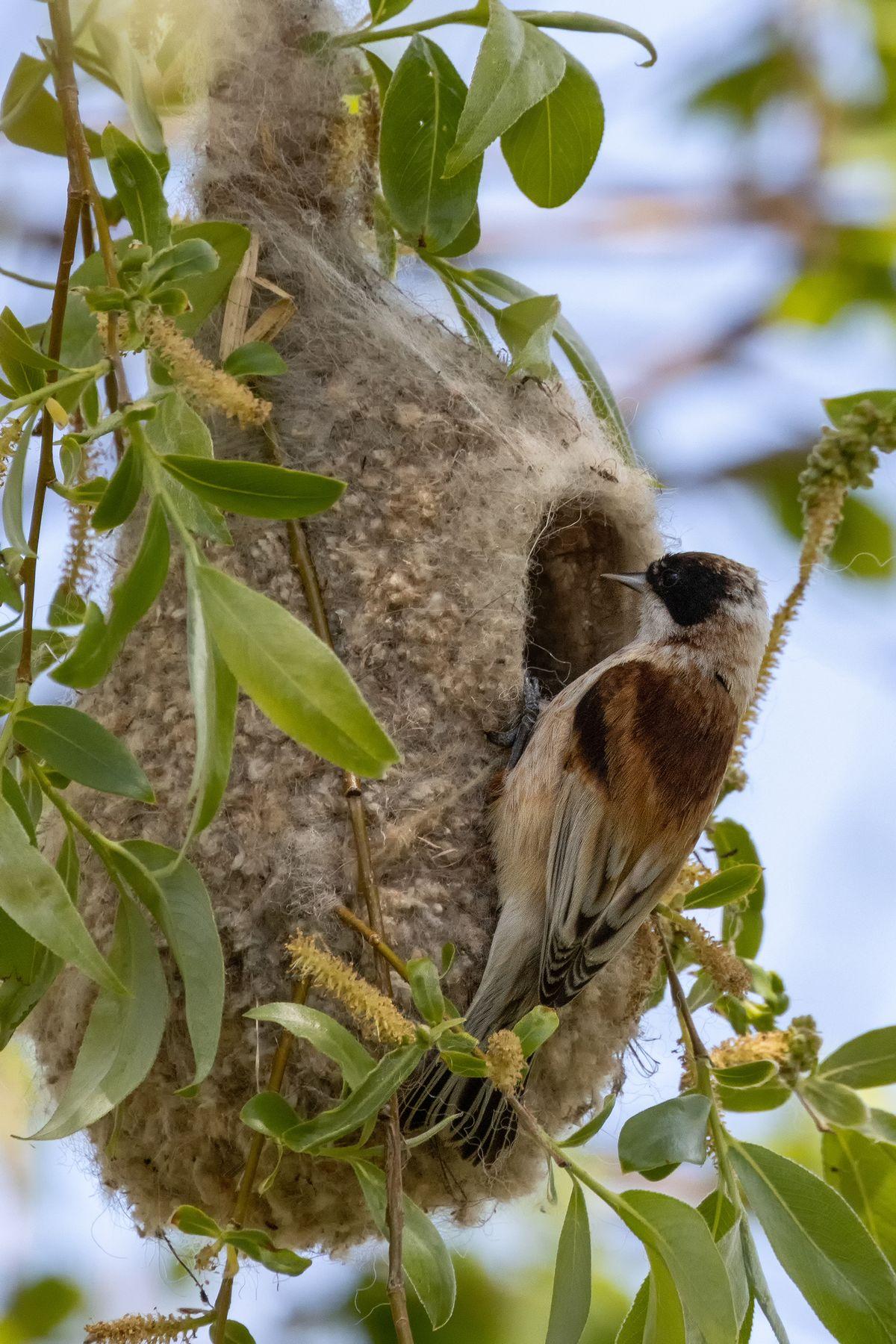 Ремез (Remiz pendulinus) Ремез Remiz pendulinus птицы птица пернатые