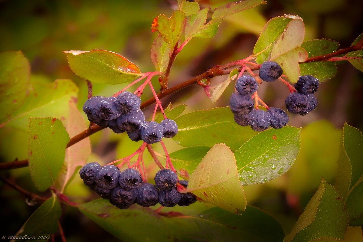 Не дождались сбора природа осень растительный мир арония плоды