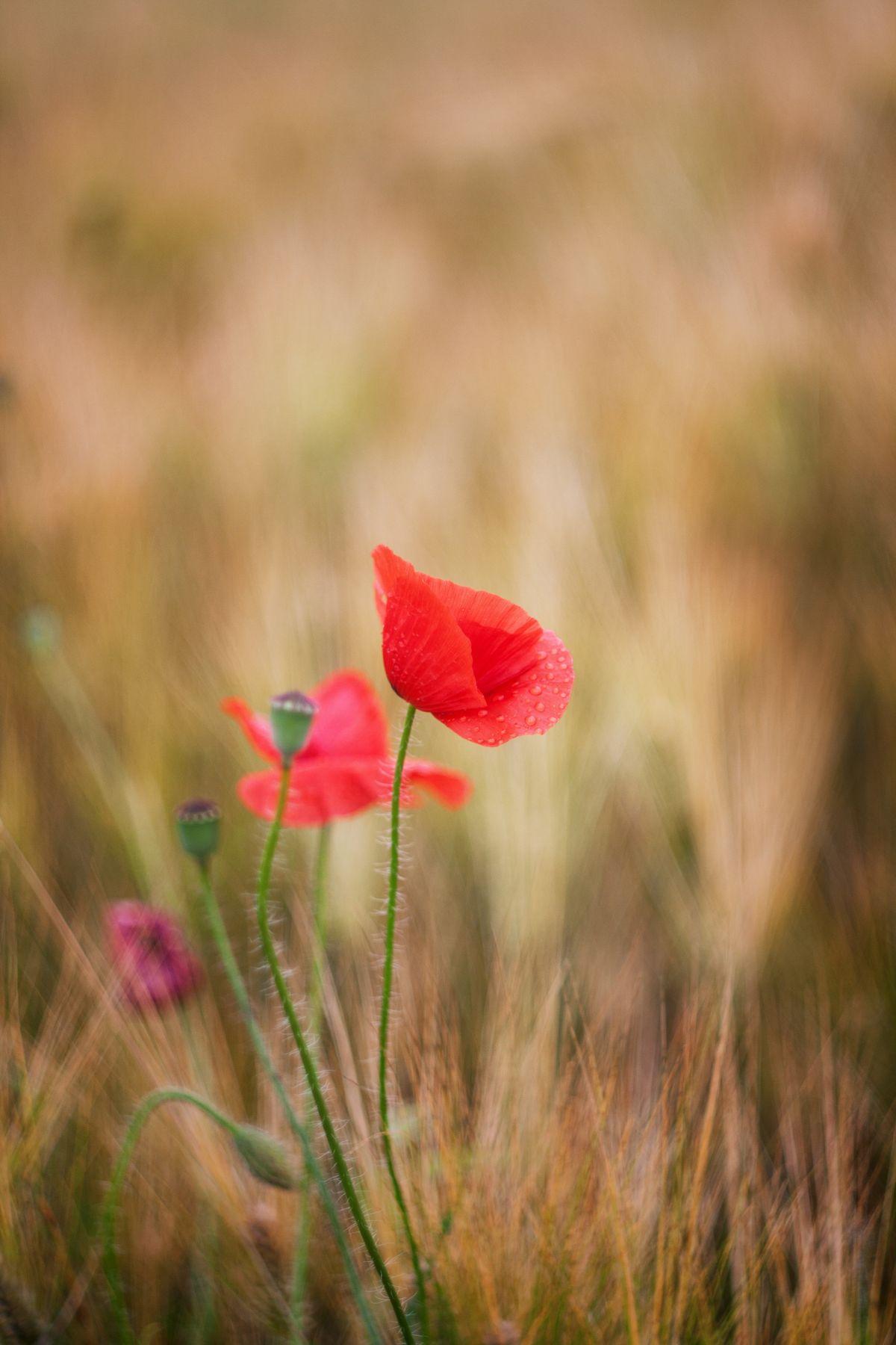 маки цветы природа