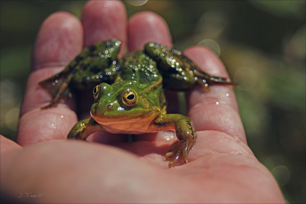 Маленький лягушонок. природа фауна животные