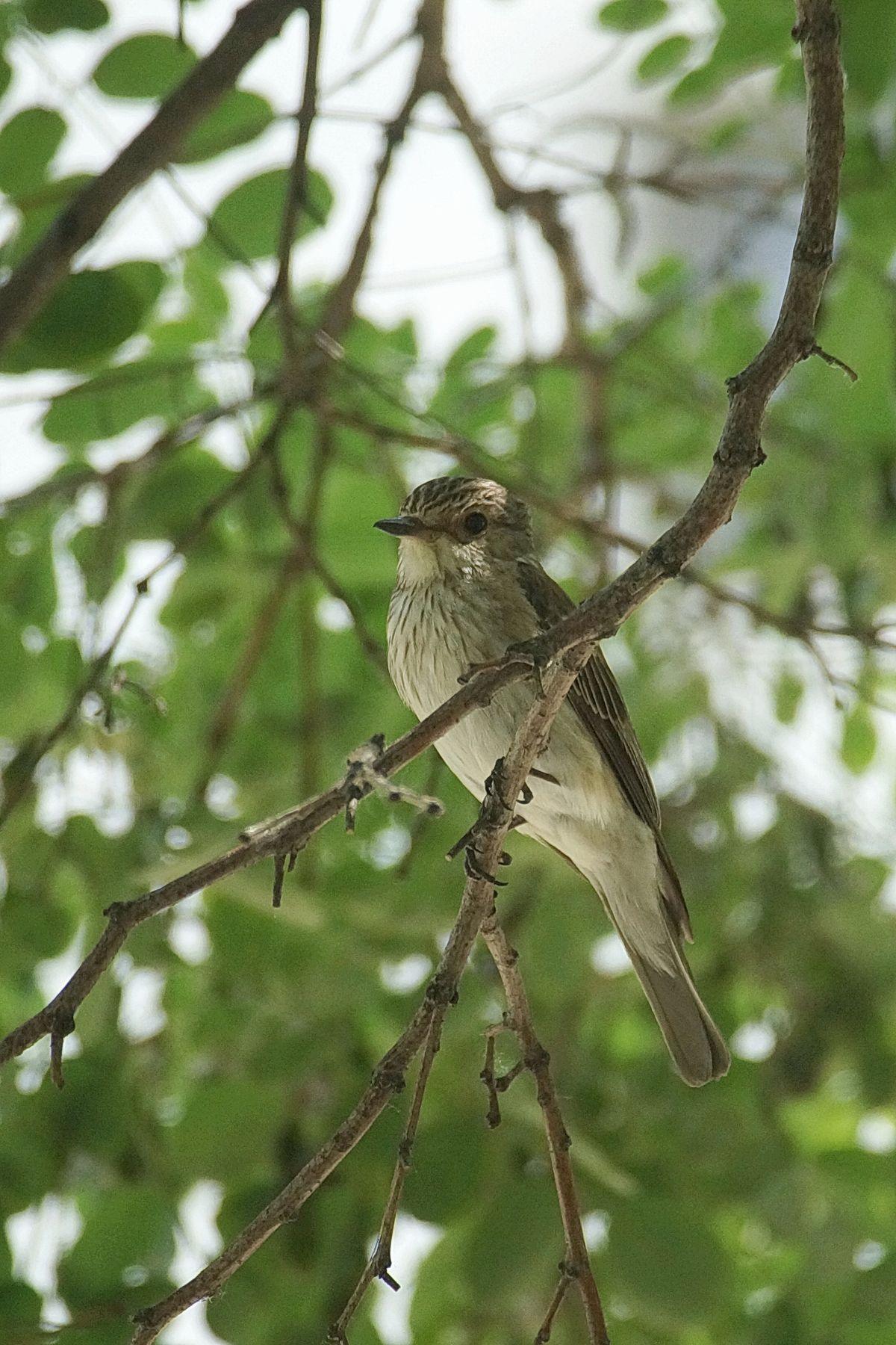 Серая мухоловка Волгоград серая мухоловка лето птицы