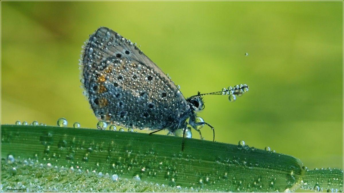 С утра наряды примеряла. утро роса бабочка природа