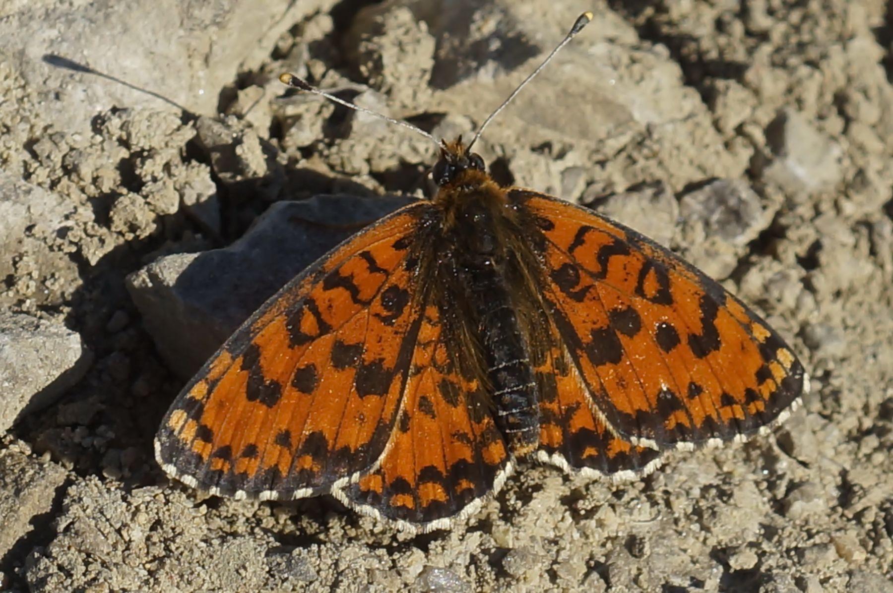 Шашечница шашечница бабочка лес лето