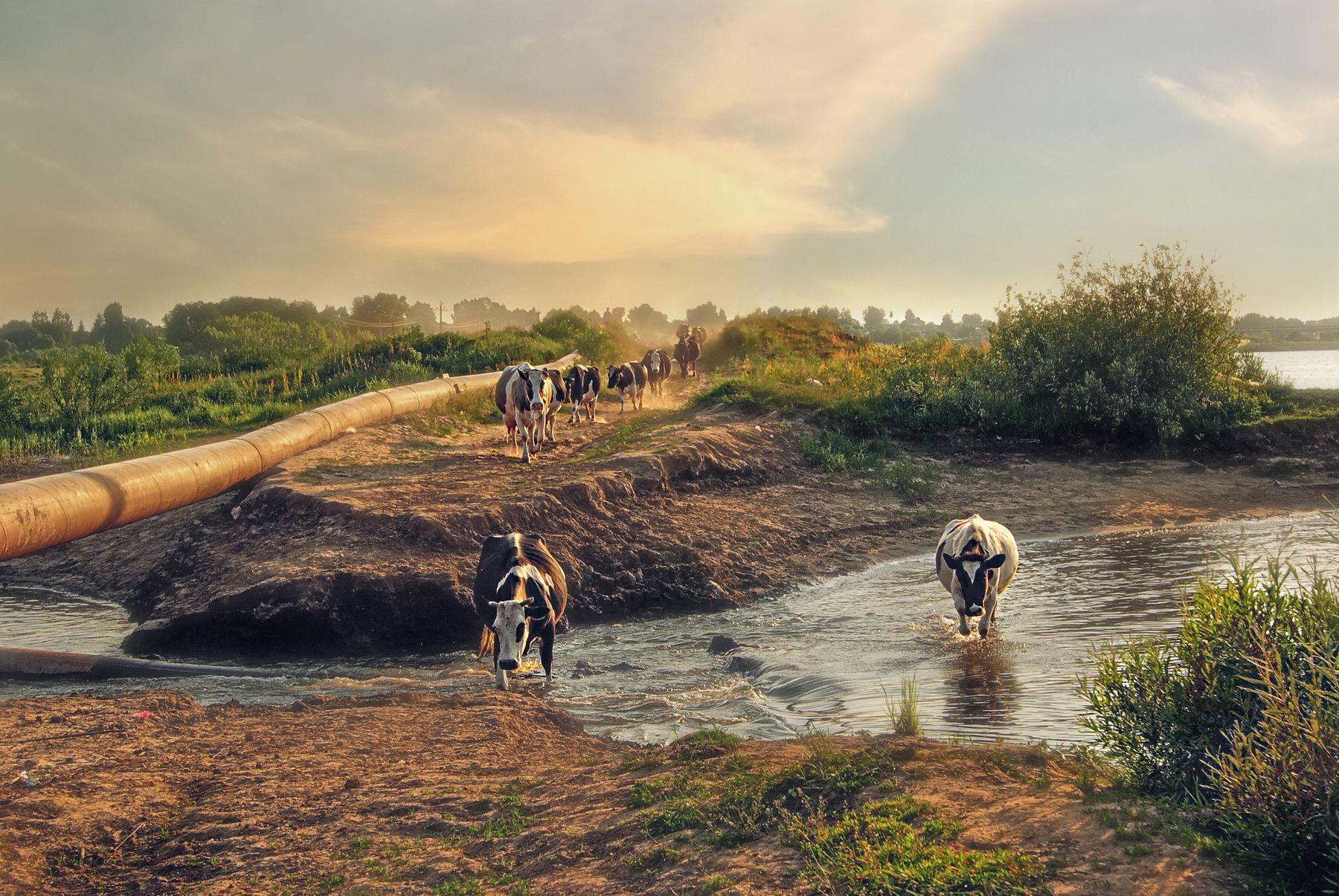 С пастбища коровы вечер озеро