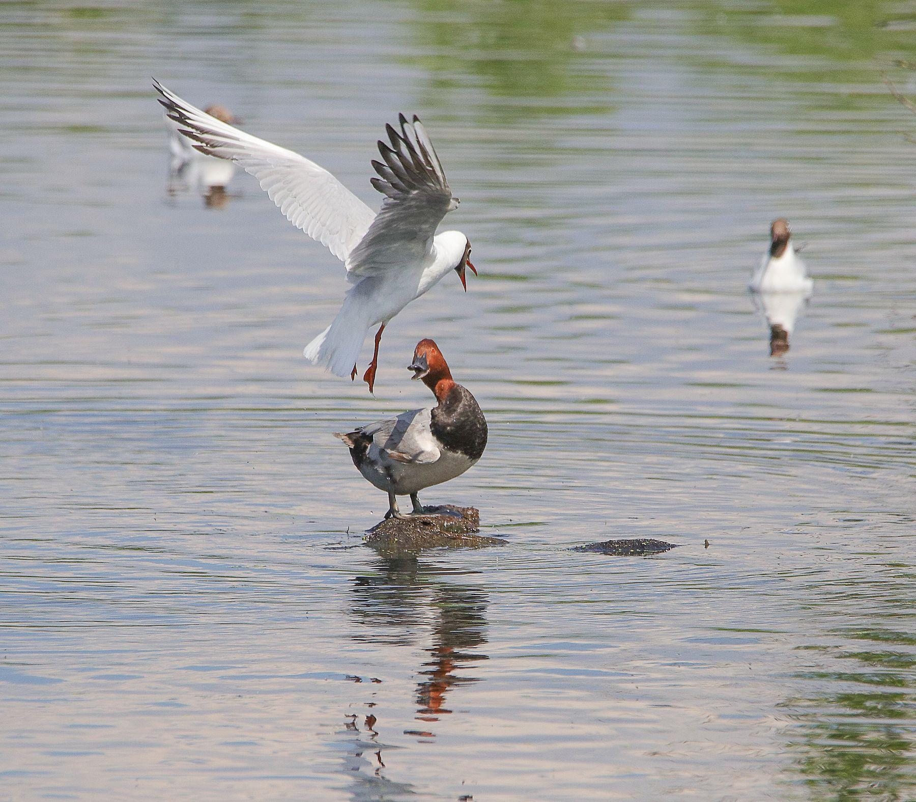 Чья кочка? - моя! птицы водоплавающие красноголовый нырок чайка