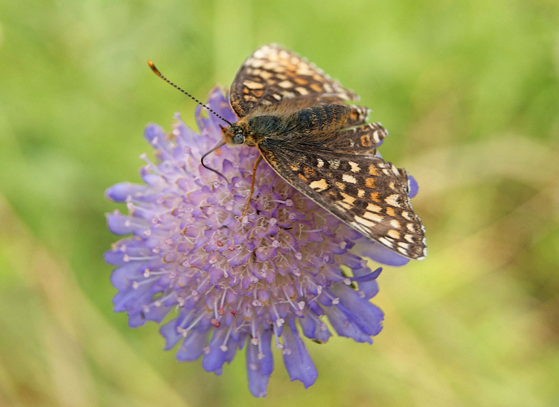 В поисках нектара лето июнь цветок короставник полевой бабочка шашечница