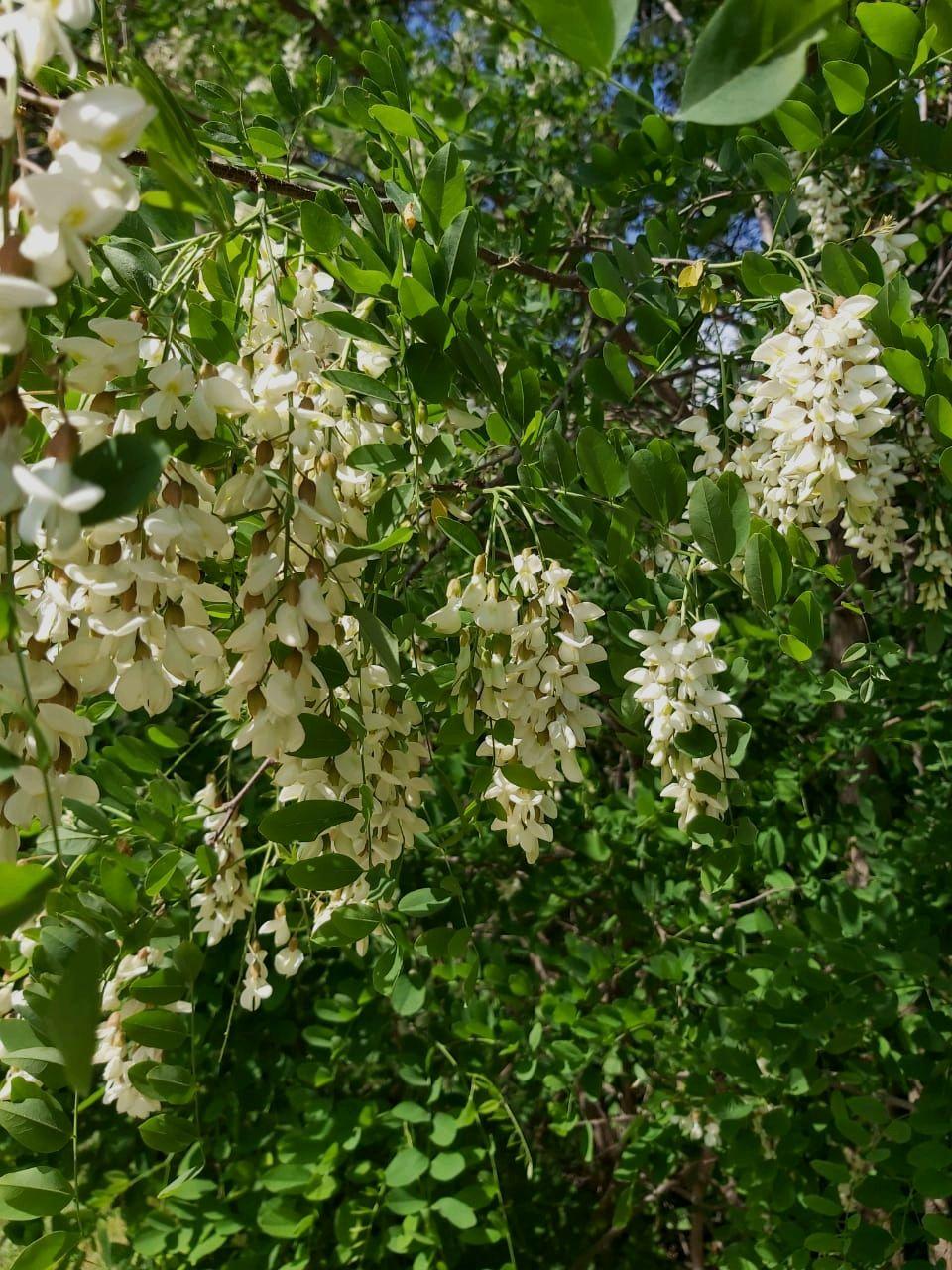 Белой акации грозди душистые летний теплый день акация белая душистая