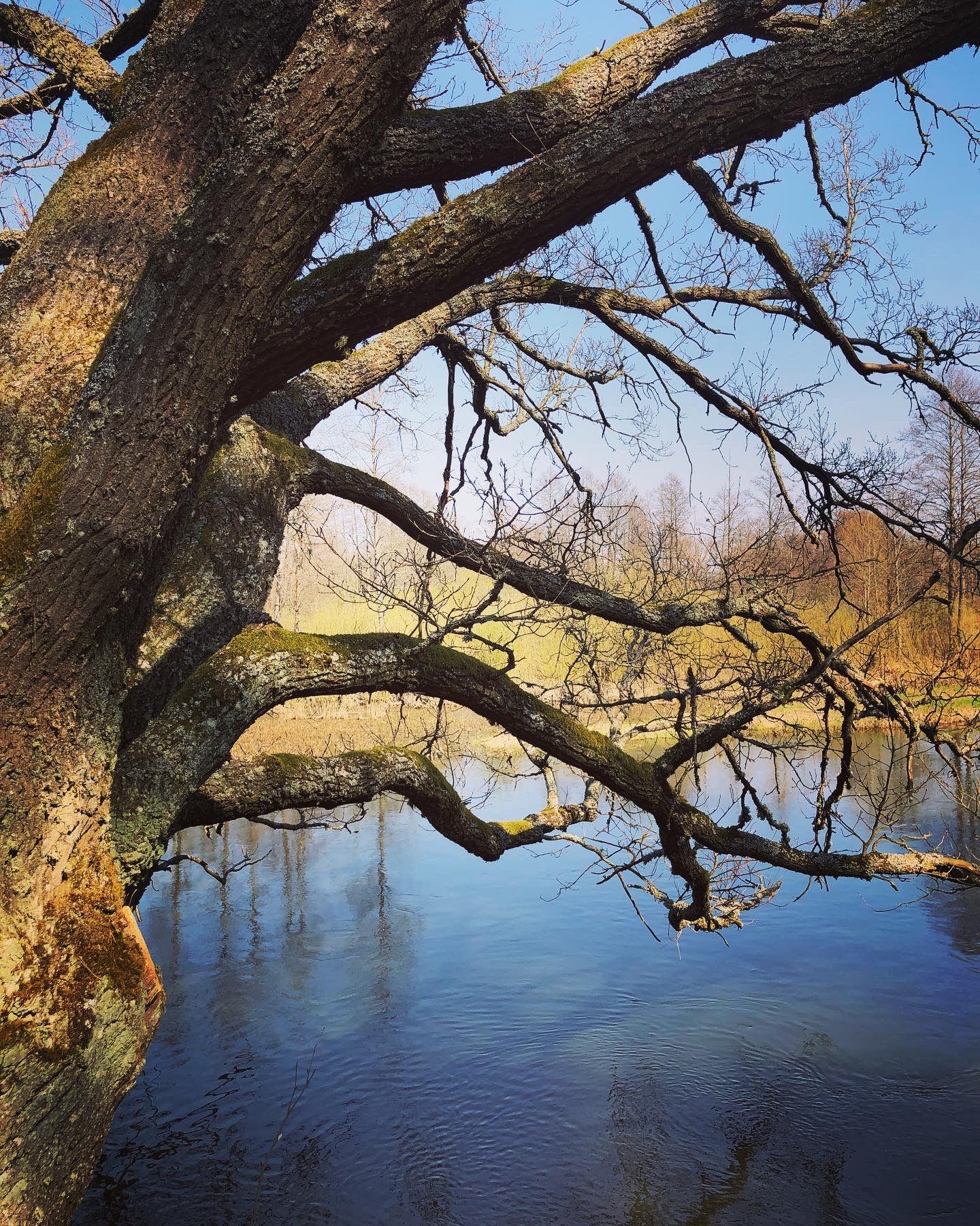 дуб и река