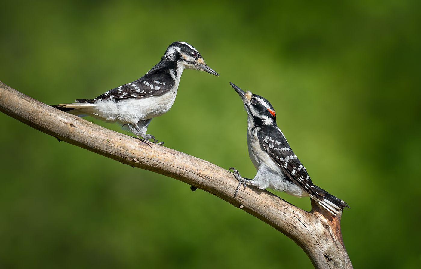Hairy woodpecker (male & female)