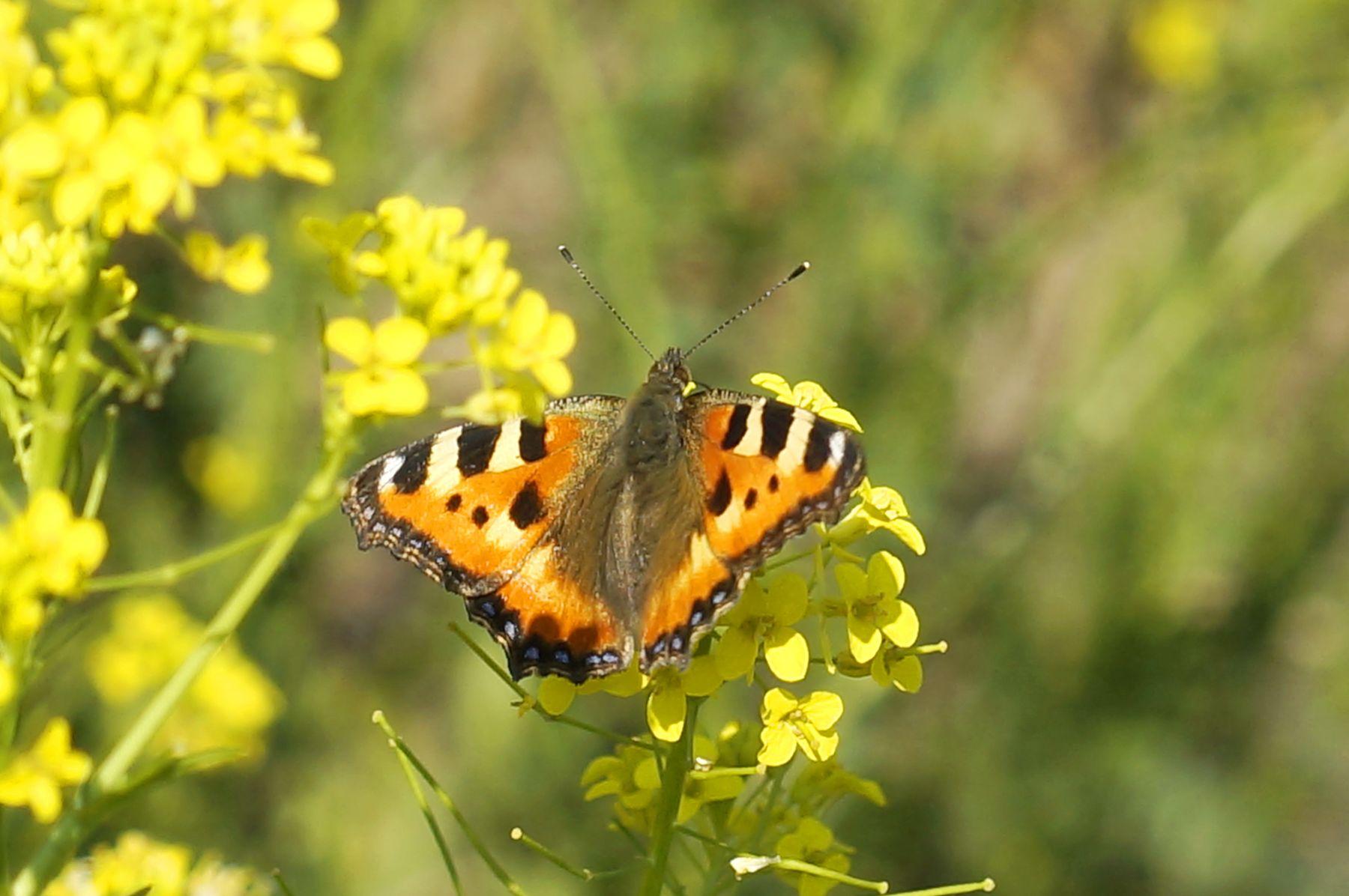 Крапивница лето цветы бабочка крапивница