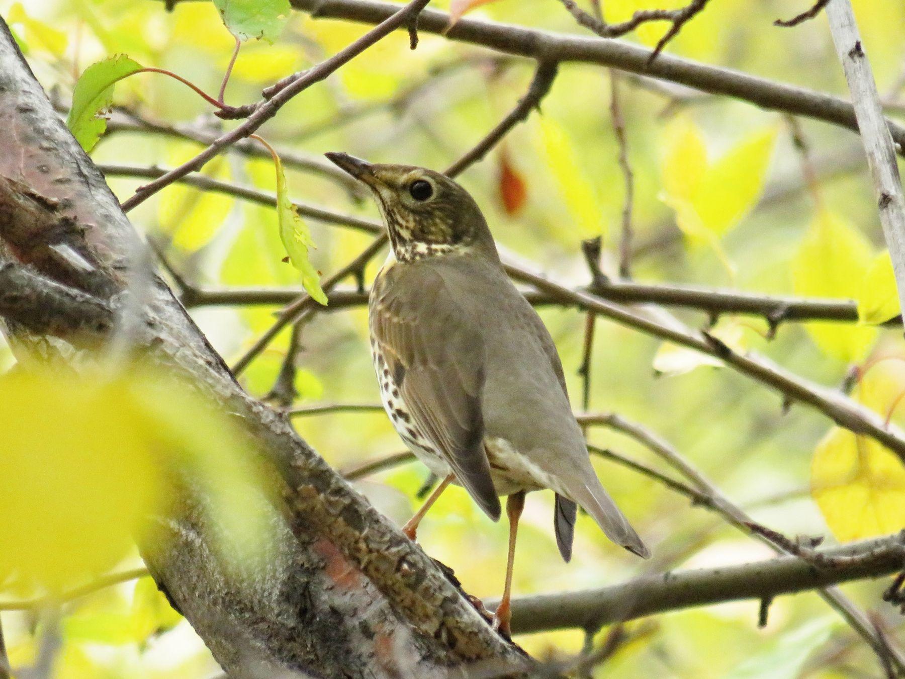 Мелкий дрозд птицы дрозд осень