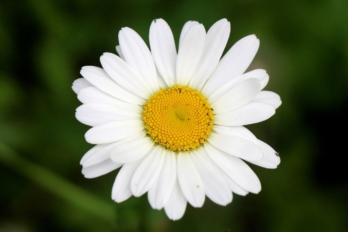 Ромашка. цветы лето