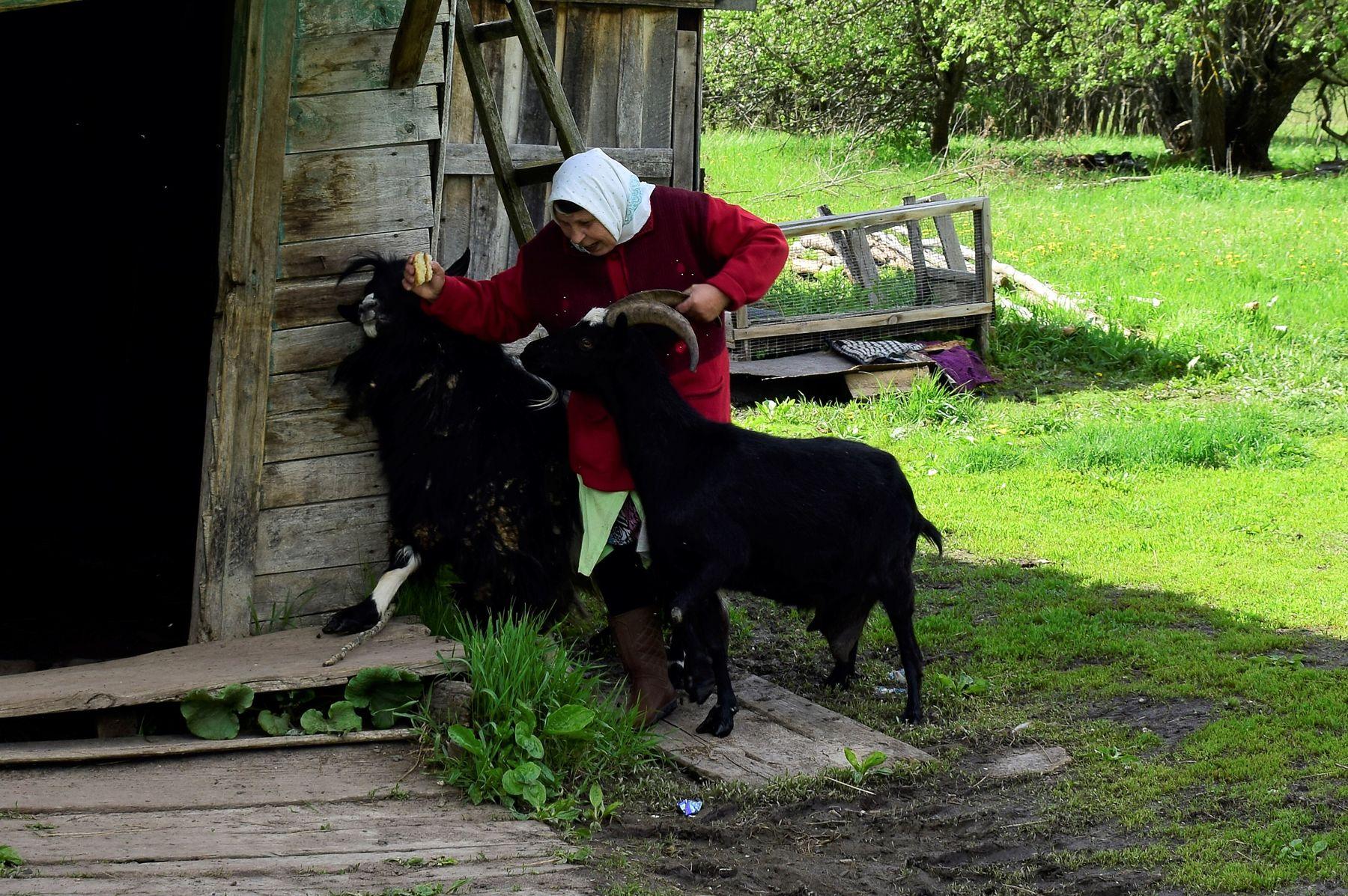 Взяли за рога. деревни козы жители природа Мордовия