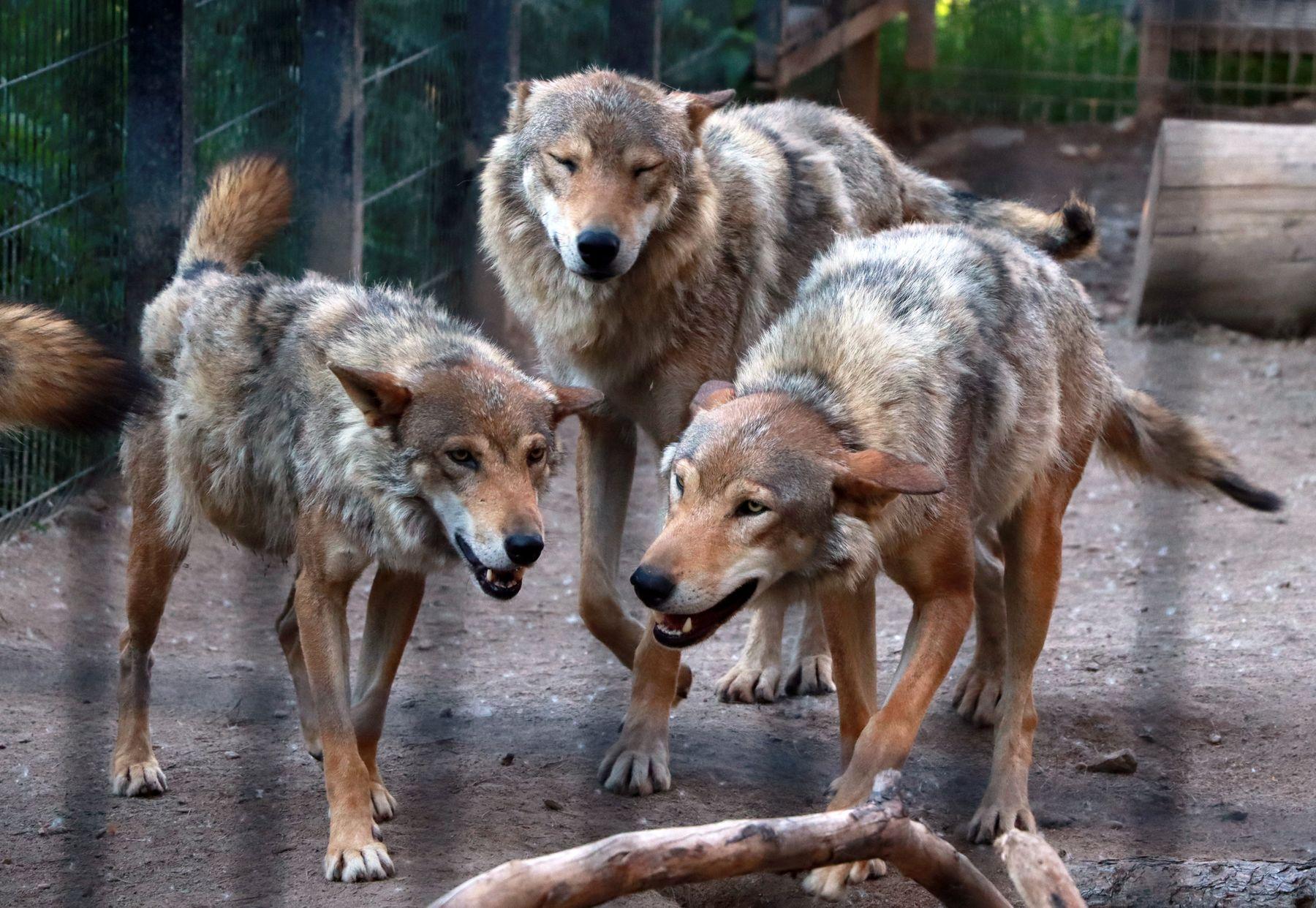 Линька... Волки
