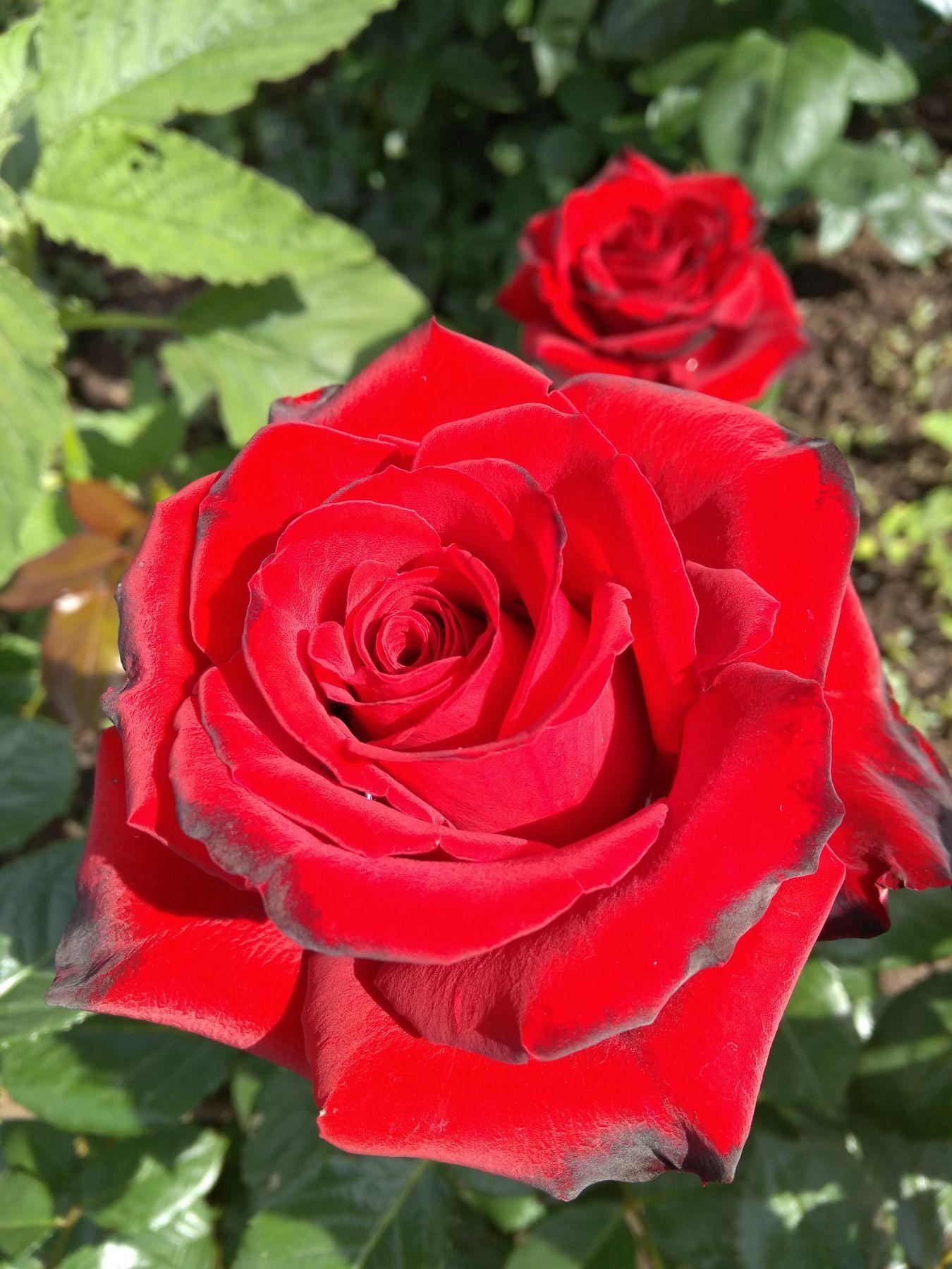 Красная роза цветы