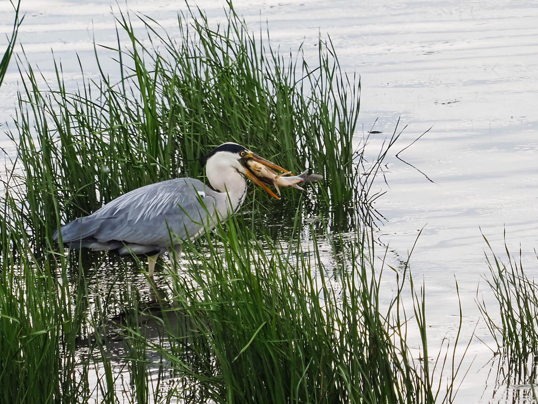 Рыбачка цапля -2 Лето природа птицы