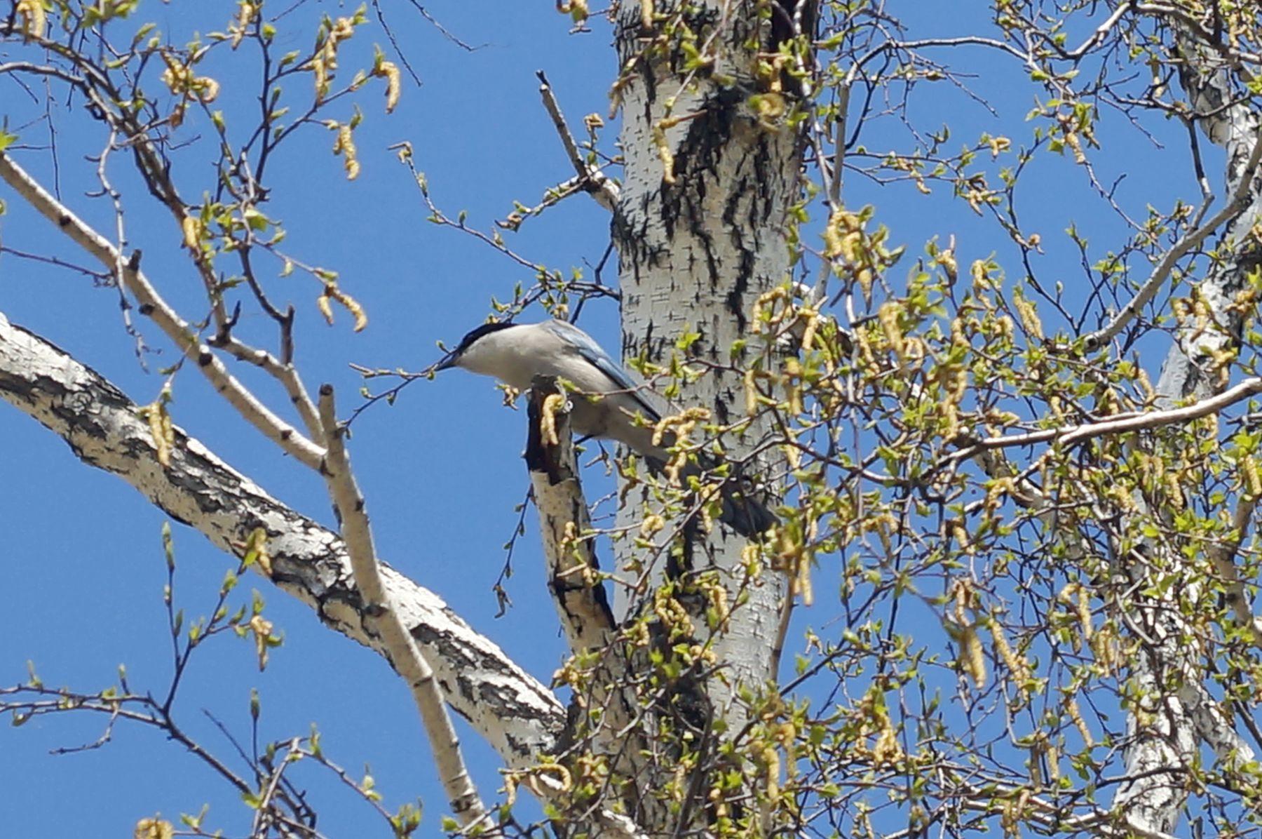 Голубая ворона голубая ворона птица весна лес береза