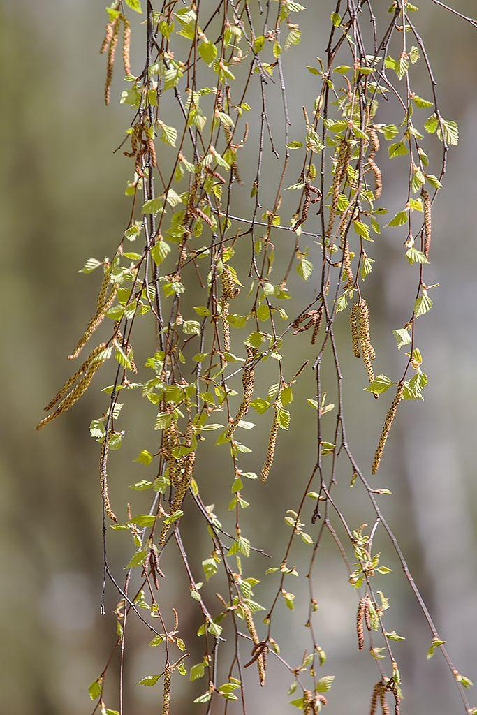 Березовый занавес береза сережки весна