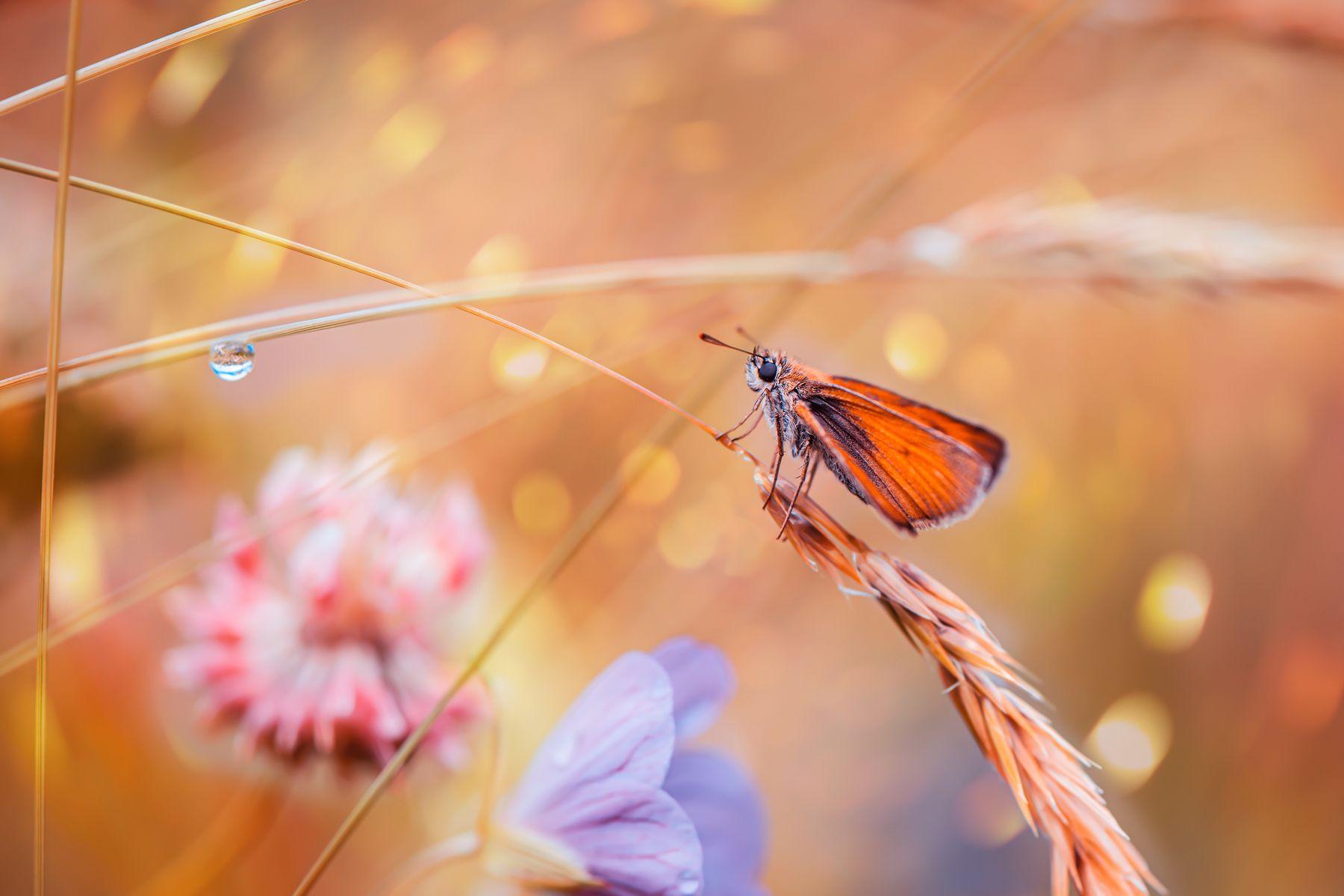 *** бабочка лето макро