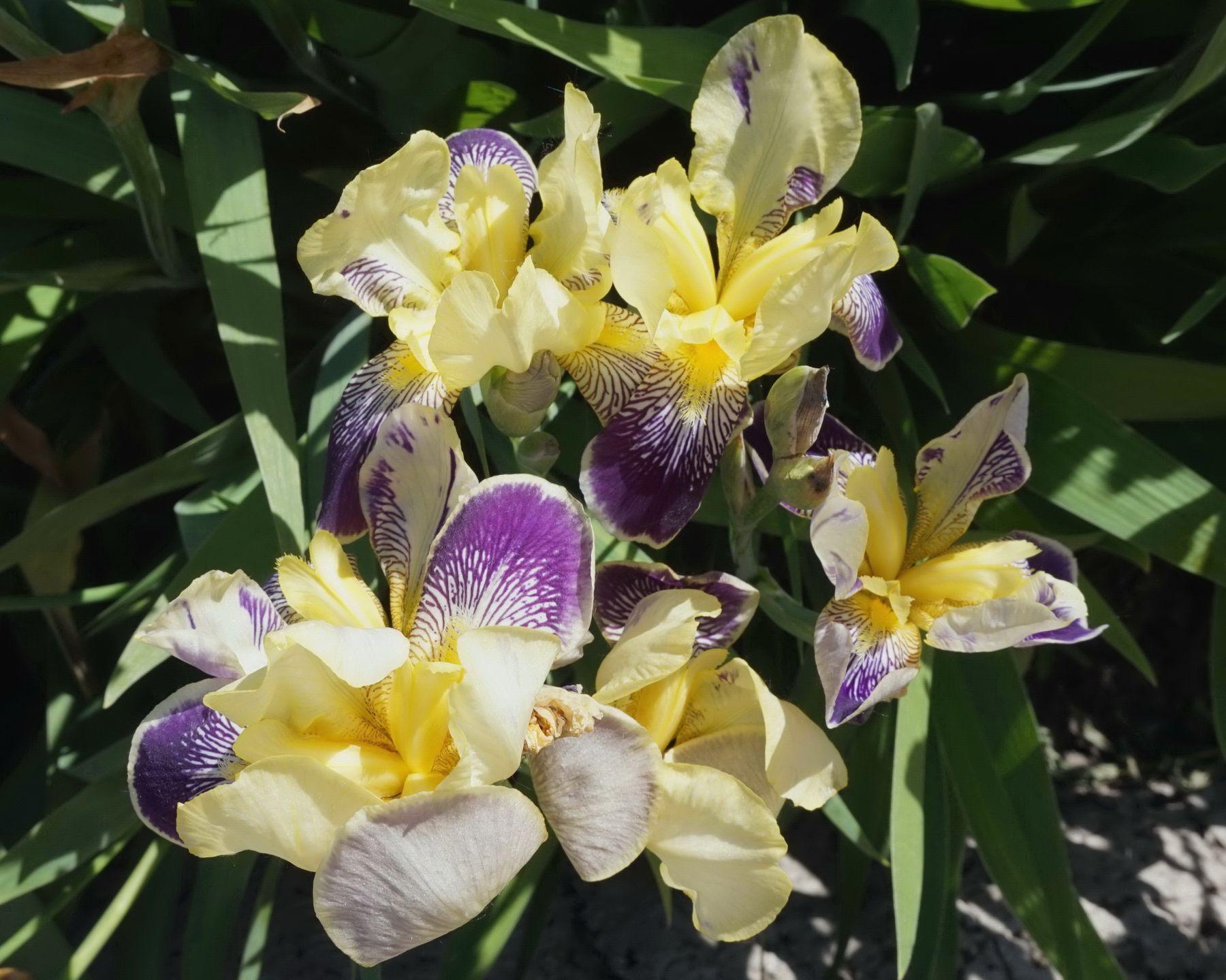 Ирисы Природа цветы ирисы
