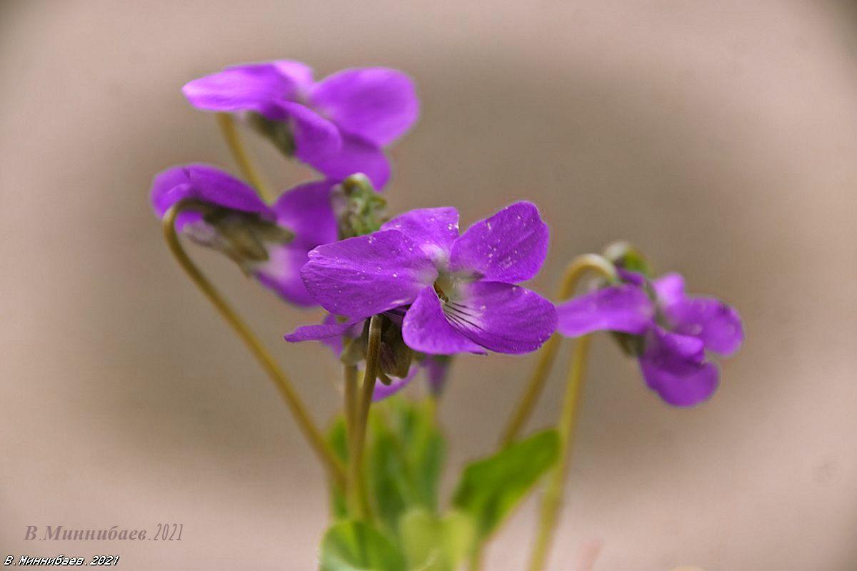 Фиалки природа весна цветы.фиалки