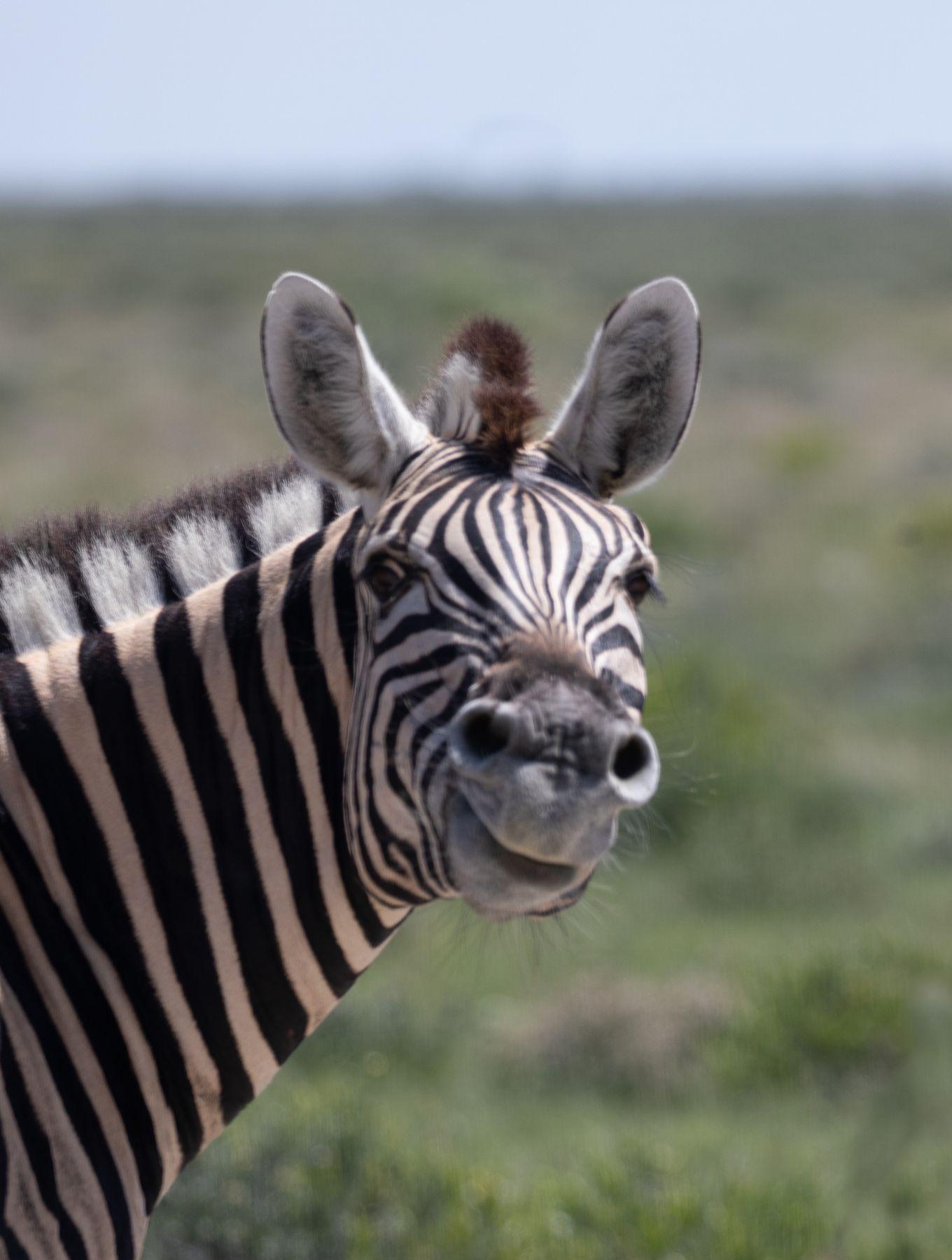 Смеющаяся зебра африка намибия путешествия сафари зебра животные