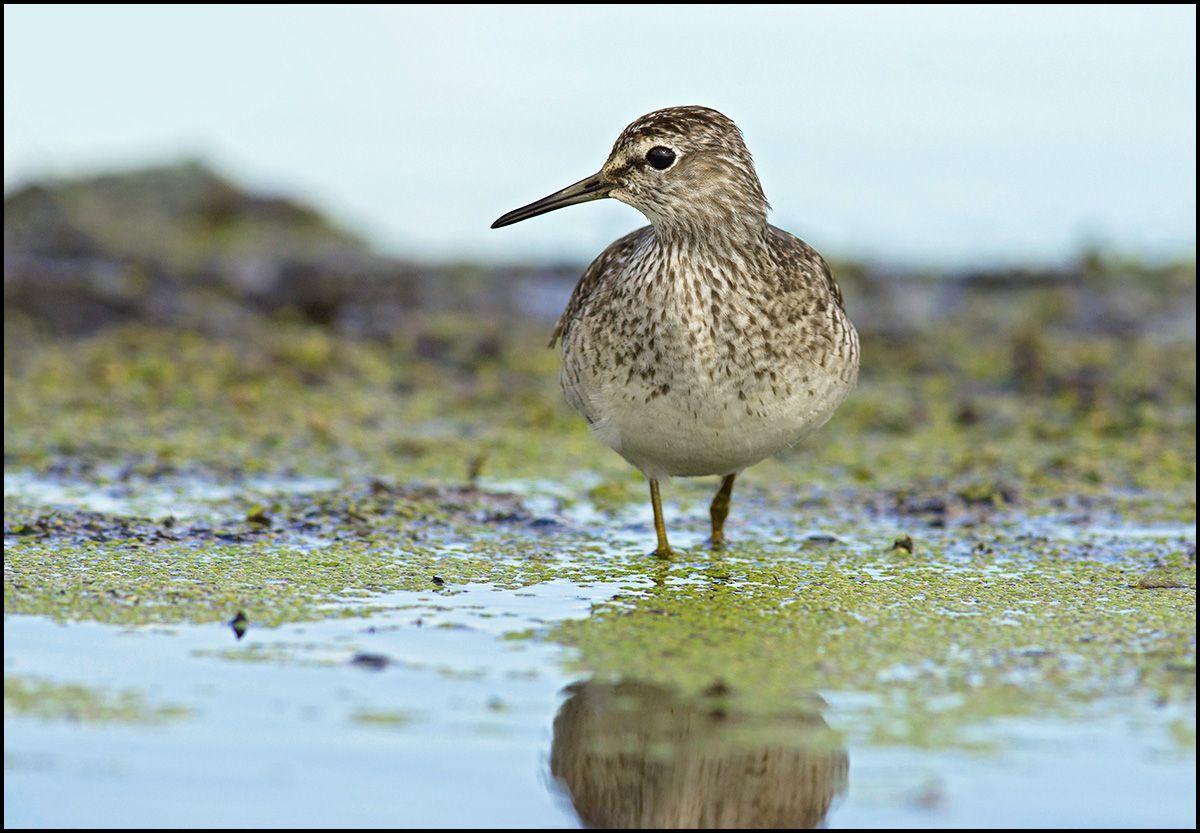 Фифи кулик фифи болото ряска