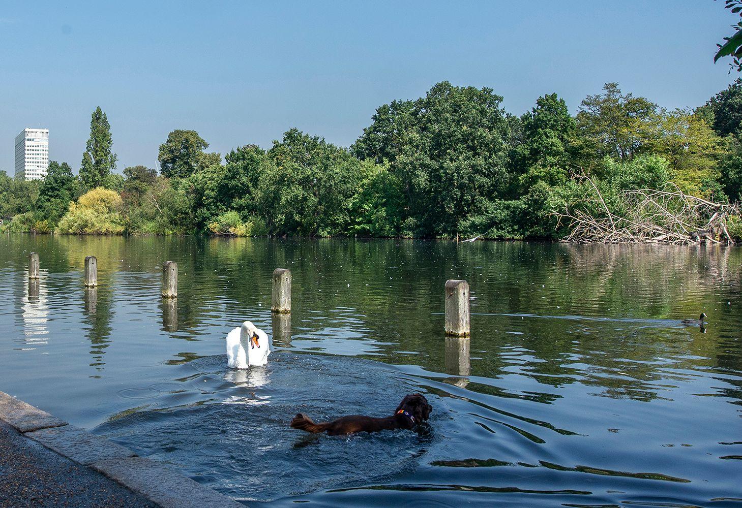 Уходи с моей территории...! Лондон Гайд-Парк пруд лебедь собака