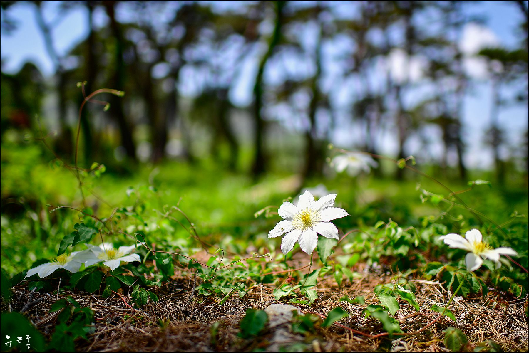 Lilac clematis Корея Весна clematis
