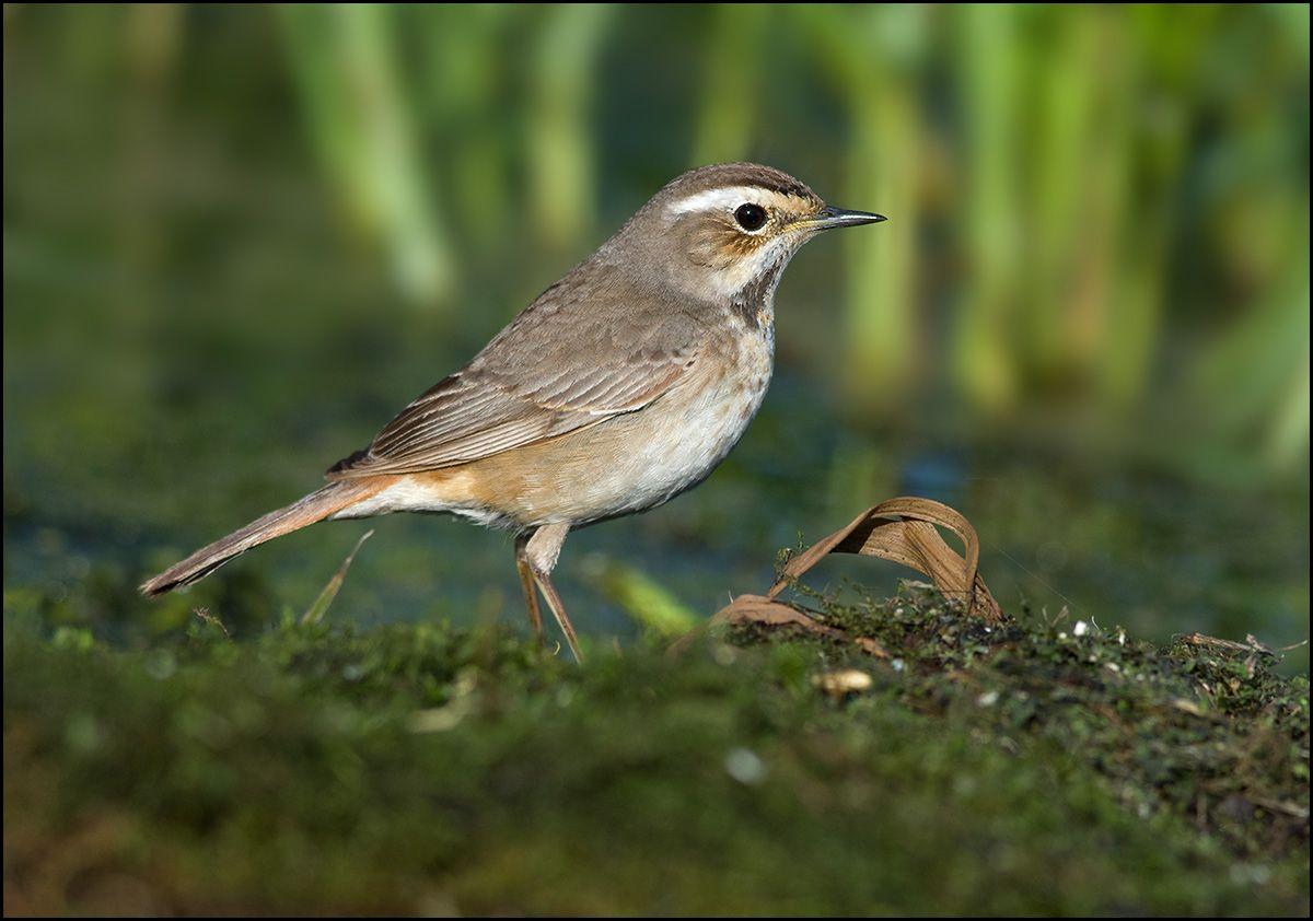 Самочка варакушки варакушка самка болото