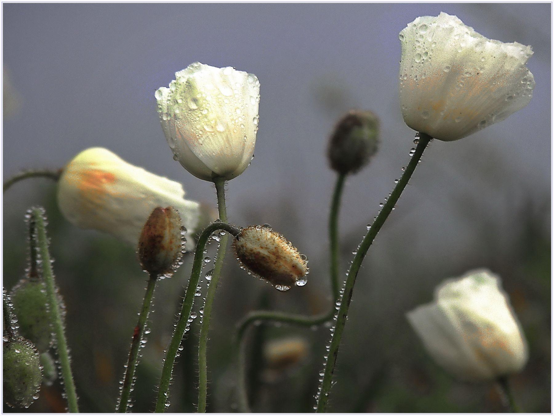 Маки Японского моря Ханами любование цветами