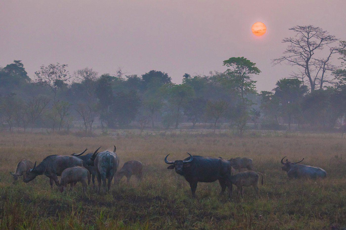 """""""Буйволы в тумане"""" Индия Казиранга национальный парк буйвол азиатский животные путешествие"""