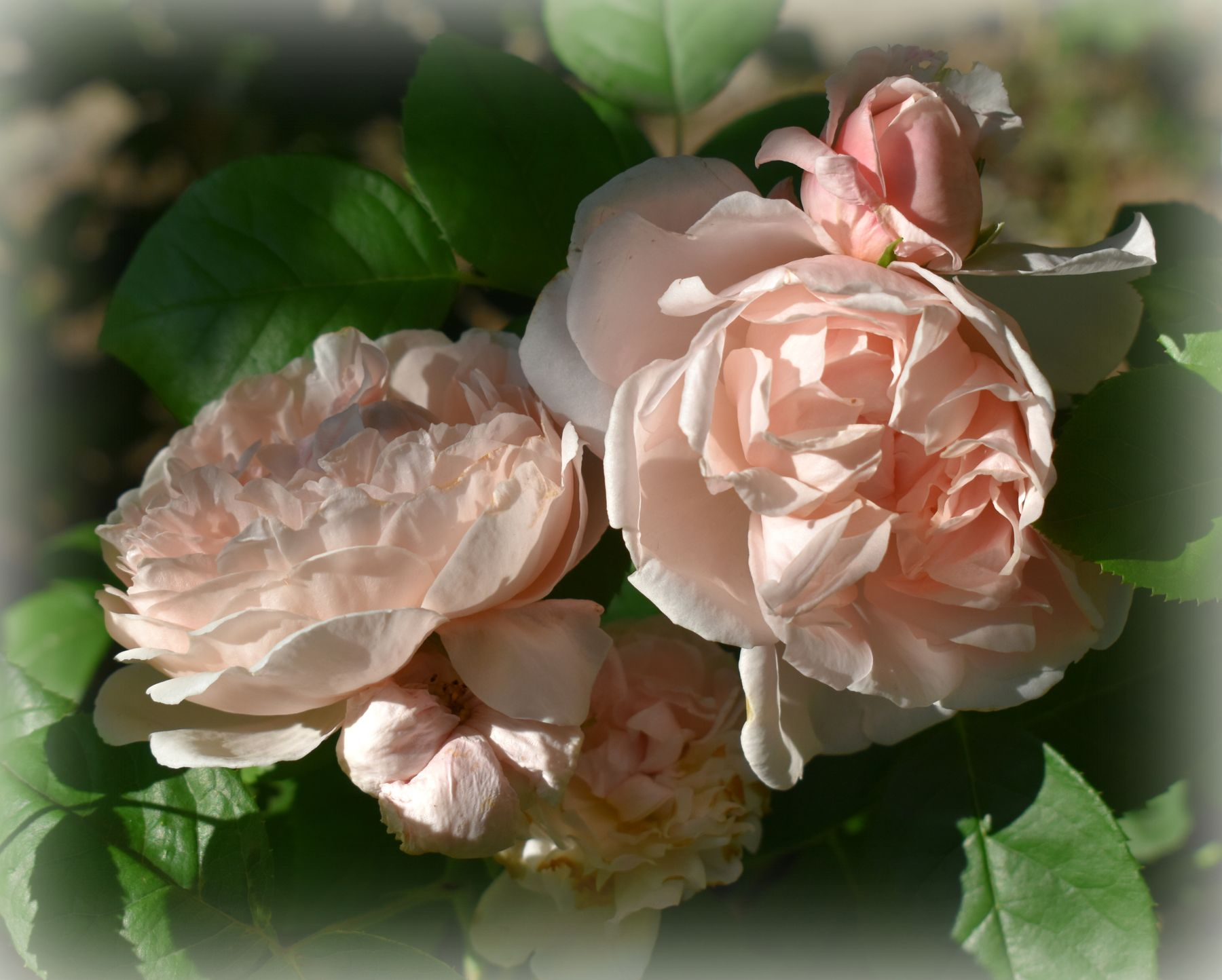 Изысканое крем-брюле)) лето июнь роза