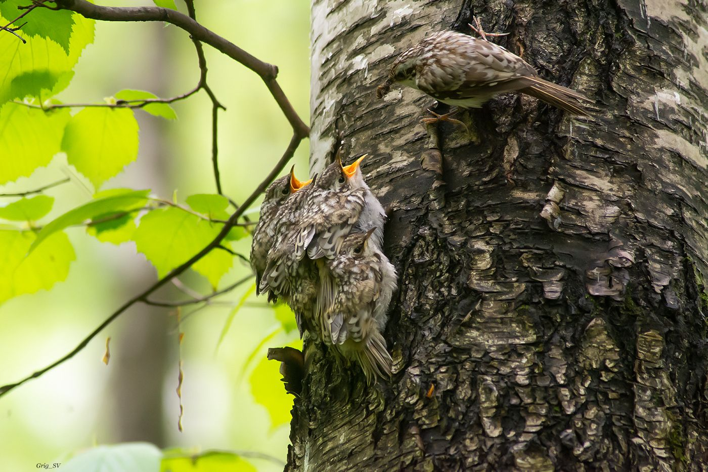 Пищуха кормит птенцов фотоохота дикие птицы пищуха