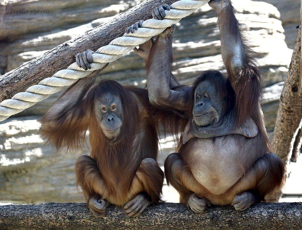 Даёшь молодёжь!... обезьяна орангутан беременная самец самка рыжий шерсть живот