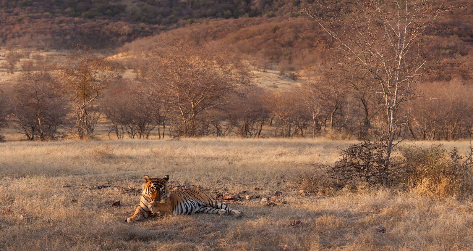 """""""Тигро-панорама"""" Индия Рантхамбор национальный парк тигр путешествие"""