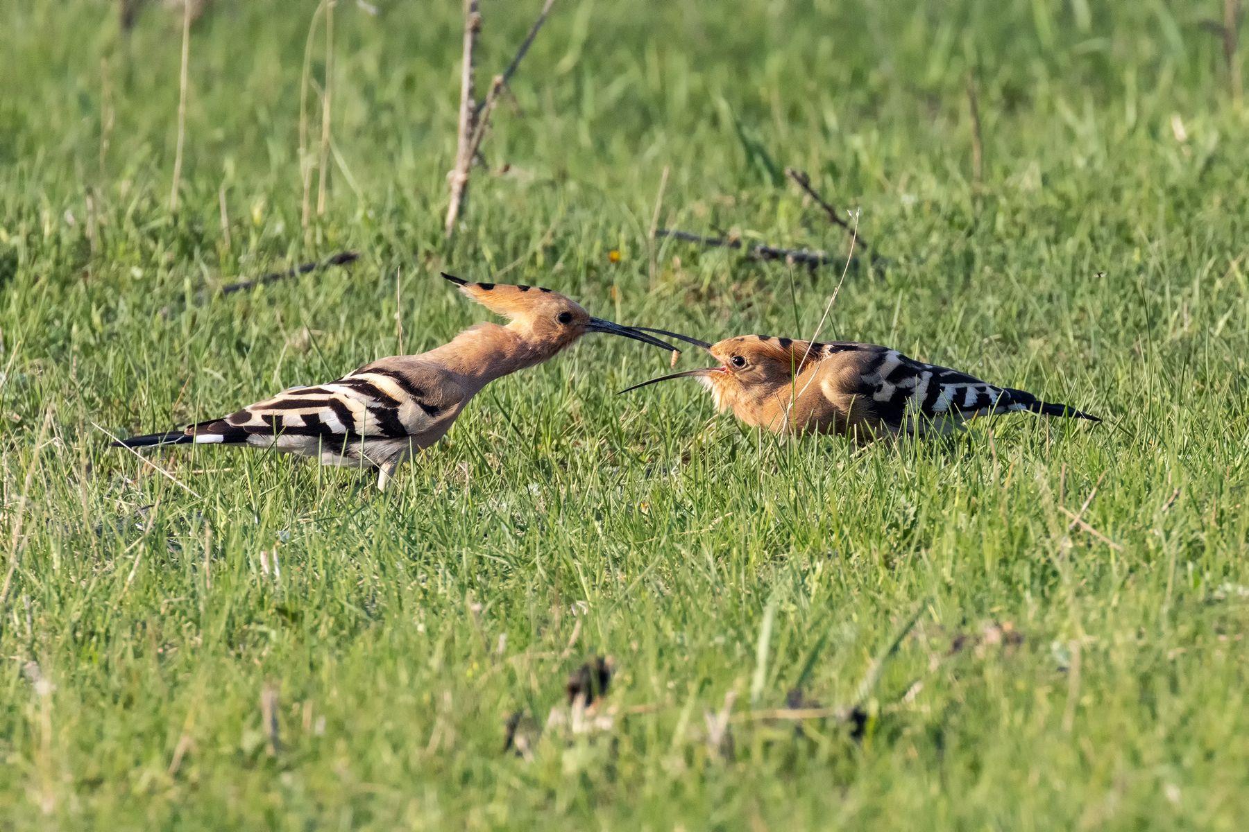 Семья удодов Удод птицы птица пернатые