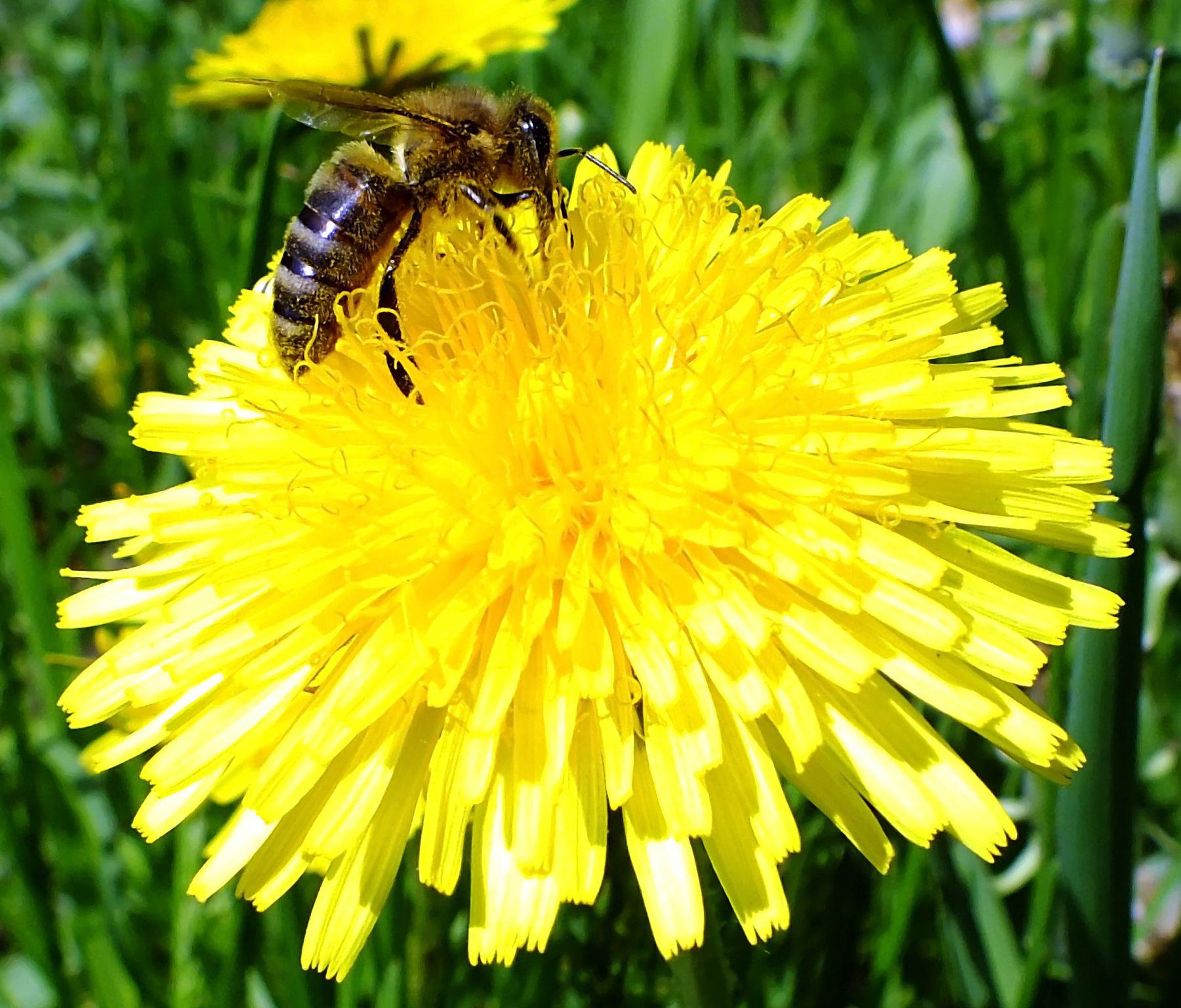 Вкусный одуванчик пчела одуванчик май